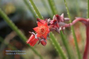 Echevaria x hybrida 'The Rose' (Dasylirion in the background)