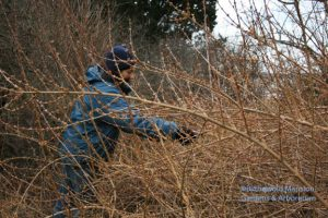Gail picking Forsythia