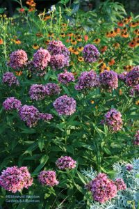 Phlox paniculata 'Natural Feelings'