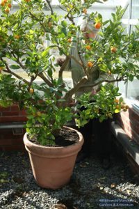 Julie pruning the Calamondin last year - it needs it again!