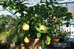 Citrus limon 'Ponderosa' (American Wonder Lemon)