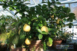 Citrus limon 'Ponderosa' (American Wonder Lemon)