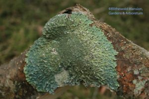 Lichen on a broken winterberry branch
