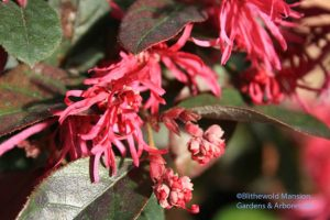Loropetalum 'Razzleberri' - a member of the Witch hazel familiy (Hamamelidaceae) zone 8
