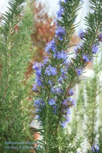 the bluest rosemary