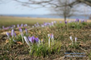 Crocus on the Great Lawn - March