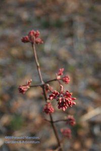 frostbit buds on the Dawn viburnum (V. bodnatense)