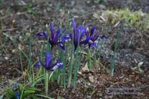 Iris reticulata in the North Garden - catch this one quick before it goes!