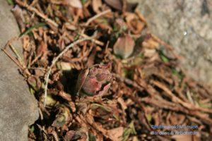 silvery fuzzy pulmonaria buds in the Rock Garden