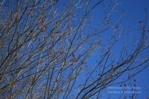 Red maple (Acer rubrum) buds