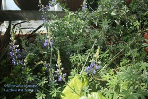 silver lupine (Lupinus albifrons)