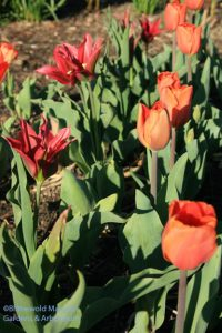 Tulipa 'Pimpernel' and 'Annie Schilder'