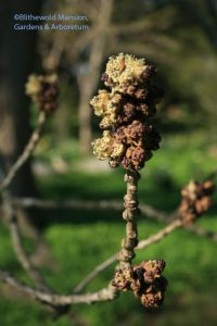 Fraxinus excelsior (European ash)