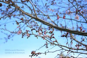Prunus x subhirtella 'Autumnalis' - Higan cherry just coming into bloom