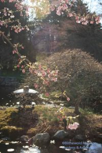 Water Garden cherry coming into bloom (Prunus x yedoensis 'Akebono')