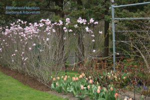 Magnolia x loebneri 'Leonard Messel' and clashing tulips