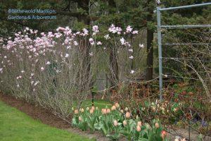 Magnolia x loebneri 'Leonard Messel' and clashing tulips