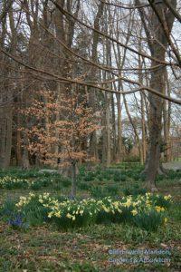 daffodils and scilla in the Bosquet 4-6-09