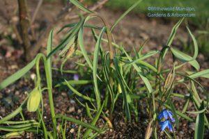 Fritillaria meleagris - Checkered lily still in bud