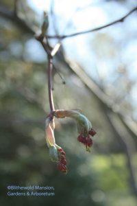 Acer japonicum 'Aconitifolium' (Full moon cut leaf Japanese maple)