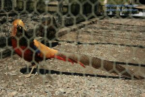 Pheasant on guard at Haskell's
