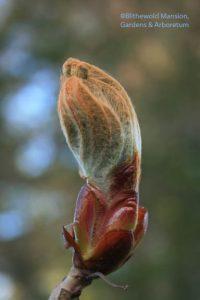 Red horsechestnut emerging (Aesculus x carnea 'Briotii')
