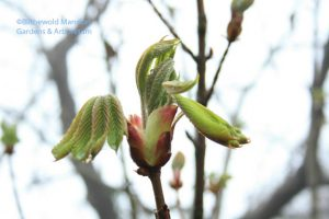 Red horsechestnut leafing out