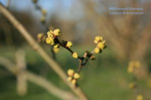 Spice bush (Lindera benzoin)