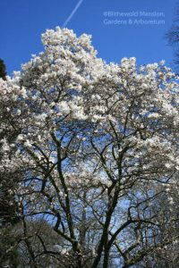 Magnolia stellata (Star magnolia) blooming from top down