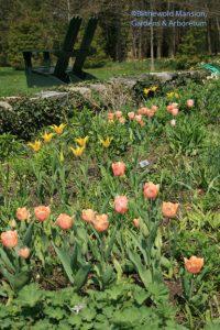 North Garden tulips