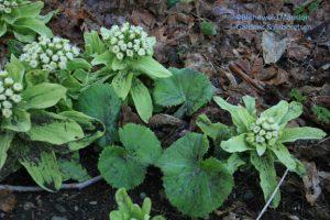 Butterbur (Petasites japonicus) leafing out