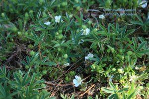 Potentilla alba - Dwarf cinquefoil