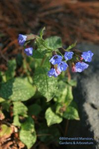 Lungwort (Pulmonaria saccharata 'Mrs. Moon')