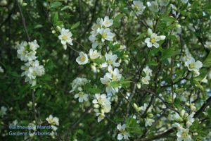 Chaenomeles speciosa (Flowering quince)