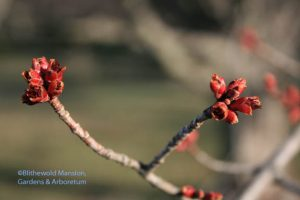 Red maple buds opening