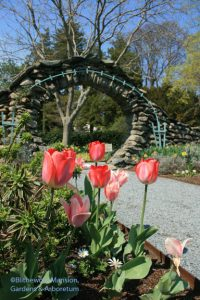 Tulipa 'Big Chief' and 'Apricot Giant' by the Moongate