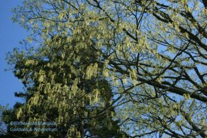 Acer saccharum - Sugar maple dripping with flowers