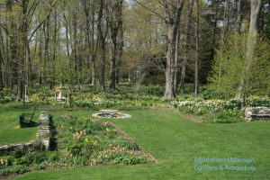 North Garden tulips and all the daffodils