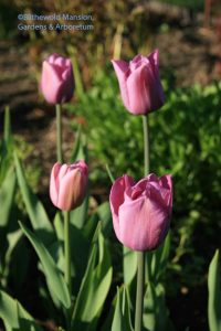 Tulipa 'Violet Beauty'