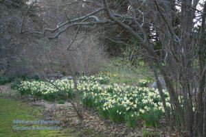 Water Garden daffodil vista