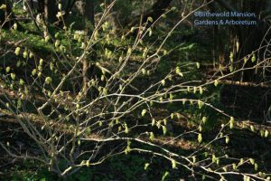 Corylopsis glabrescens 'Longwood Chimes' (Winter hazel)