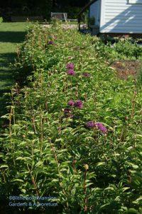 Allium and peonies