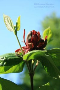 Calycanthus floridus (Carolina allspice) saying wahoo!