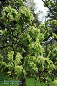 Camperdown elm (Ulmus 'Camperdownii') - emerging leaves are like flower petals