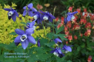 columbines in the Rock Garden