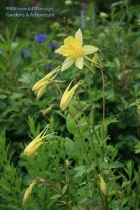 Aquilegia chrysantha 'Yellow Queen' (I think!) - Columbine