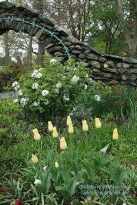 Viburnum carlesii 'Compactum' and Tulipa 'Elegant Lady'