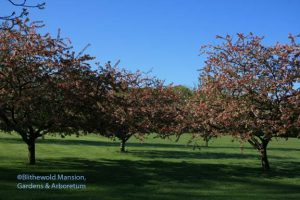 Japanese flowering crabapples (Malus floribunda)