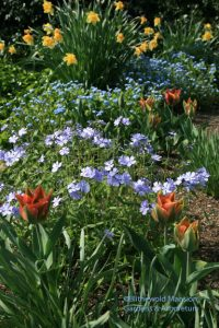 Tulipa 'Artist', Phlox divaricata and Myosotis sylvestris (forget-me-not)