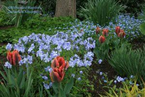 My current favorite combo - Tulipa 'Artist' and Phlox divaricata